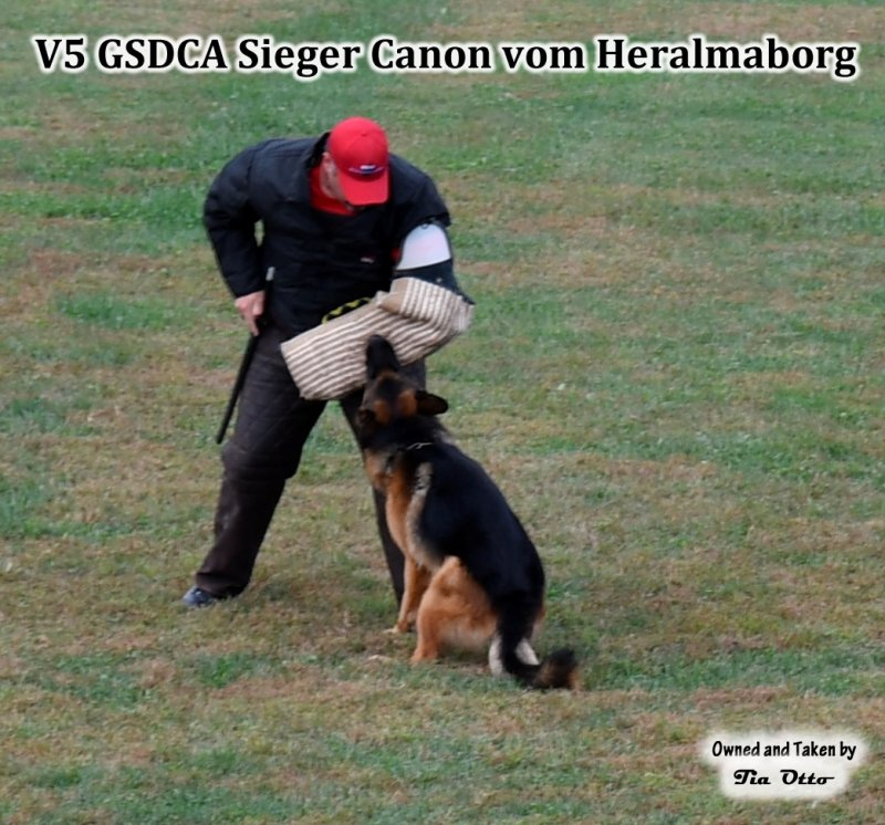 Our stud, V5 (GSDCA) Sieger Canon vom Heralmaborg IPO2, KKL 1a.  He is a 3X VA Randy vom Leithawald son. Beautiful full bite!