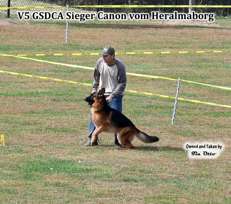 Our stud, V5 (GSDCA) Sieger Canon vom Heralmaborg ready for long bite.