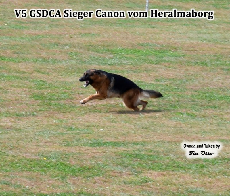Our stud, V5 (GSDCA) Sieger Canon vom Heralmaborg going for the long bite