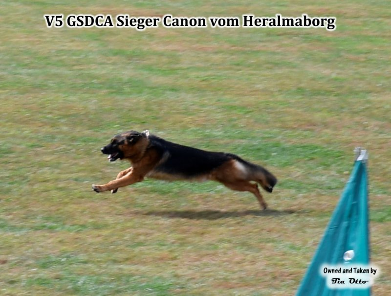Our stud, V5 (GSDCA) Sieger Canon vom Heralmaborg going after the helper on long bite