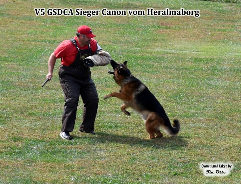 Our stud, V5 (GSDCA) Sieger Canon vom Heralmaborg reaching for the sleeve.
