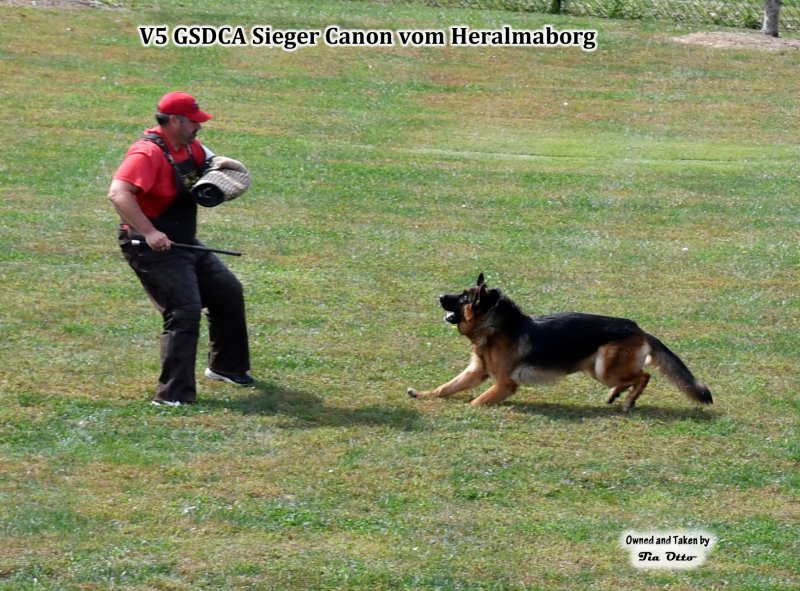 Our stud, V5 (GSDCA) Sieger Canon vom Heralmaborg ready to bite.