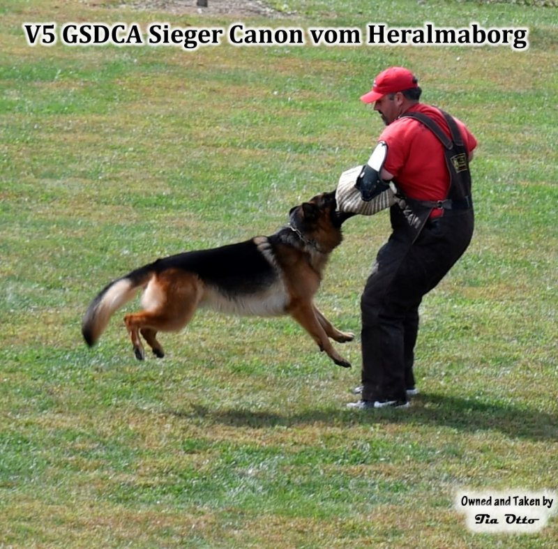 Our stud, V5 (GSDCA) Sieger Canon vom Heralmaborg flying on the sleeve