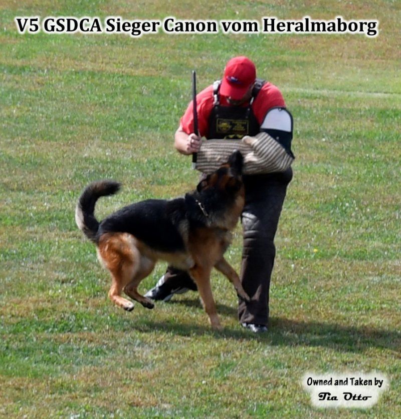 Our stud, V5 (GSDCA) Sieger Canon vom Heralmaborg still holding on to the sleeve