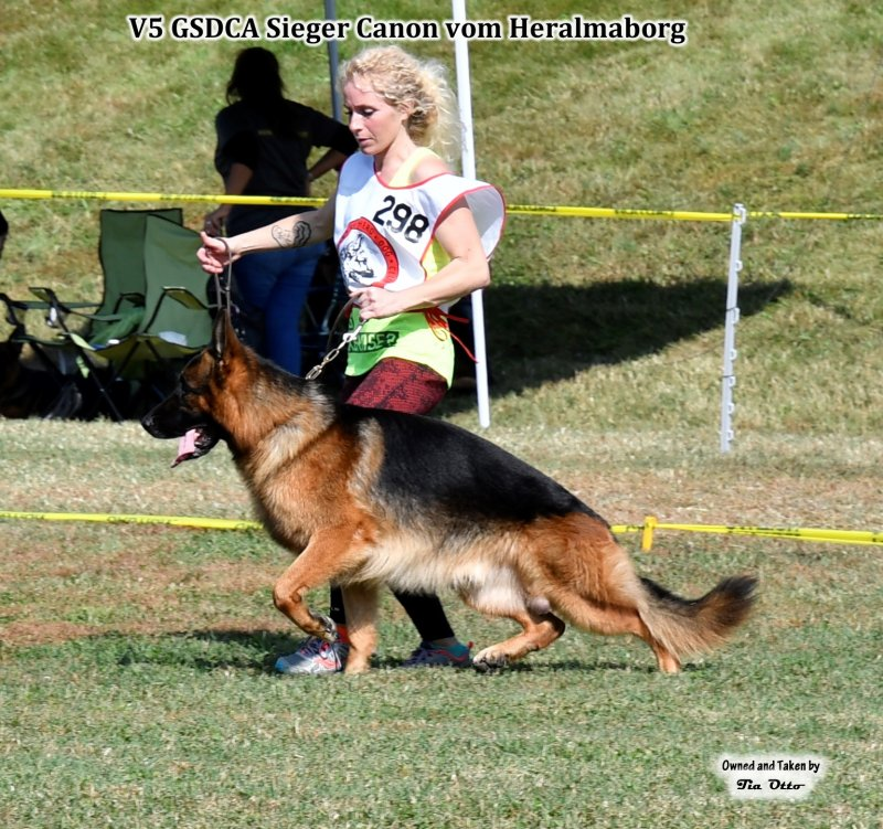 Our stud, V5 (GSDCA) Sieger Canon vom Heralmaborg gaiting around the ring with Shannon.