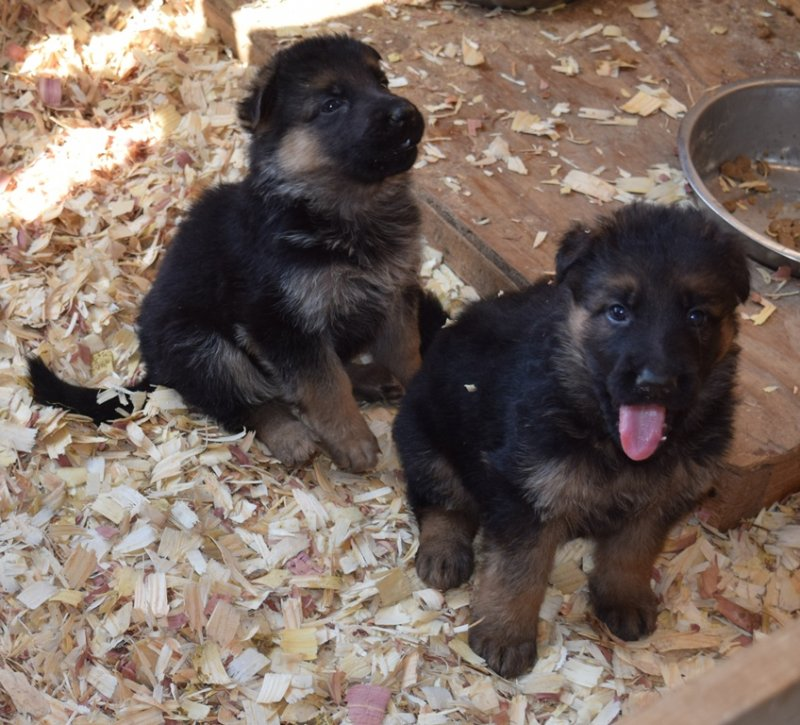 Hagen and Leska Male A and Male C on 10-18-15
