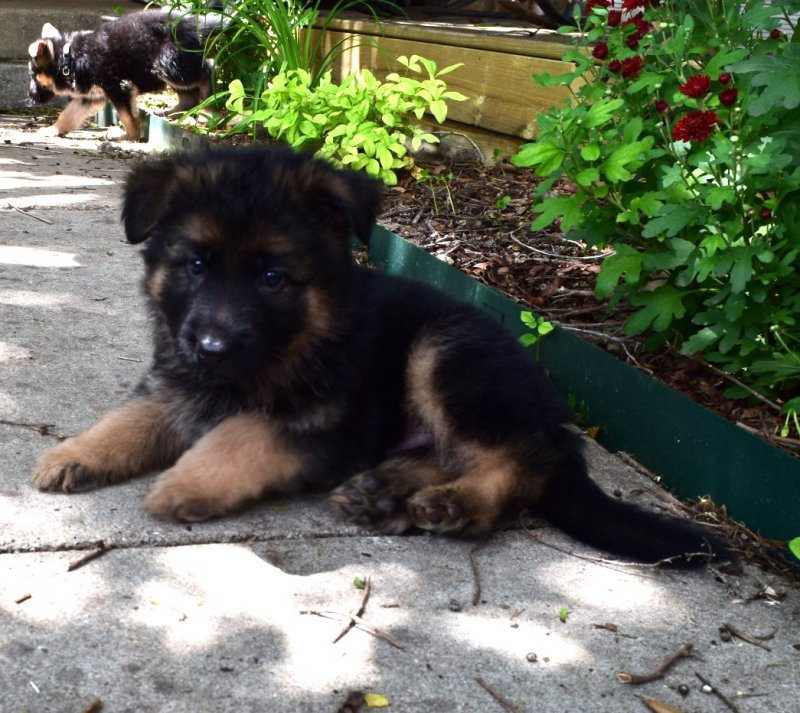 V Ramon von der Grafscraft Mark and V Katra vom Deutschen Eck German Shepherd Plush / Long Coat Male Puppy Black Collar $4500