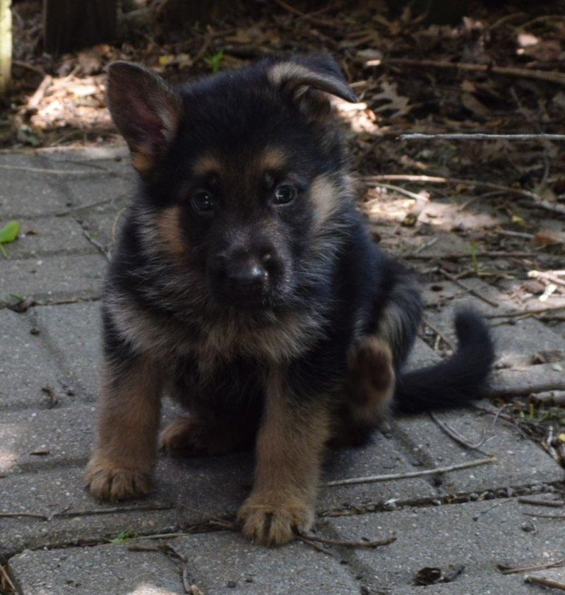 V Ramon von der Grafscraft Mark and V Katra vom Deutschen Eck German Shepherd Male Puppy Black Paw Collar SOLD