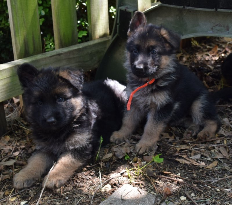 V Ramon von der Grafscraft Mark and V Katra vom Deutschen Eck German Shepherd Plush / Long Coat Male $5000 and Orange Collar Female SOLD
