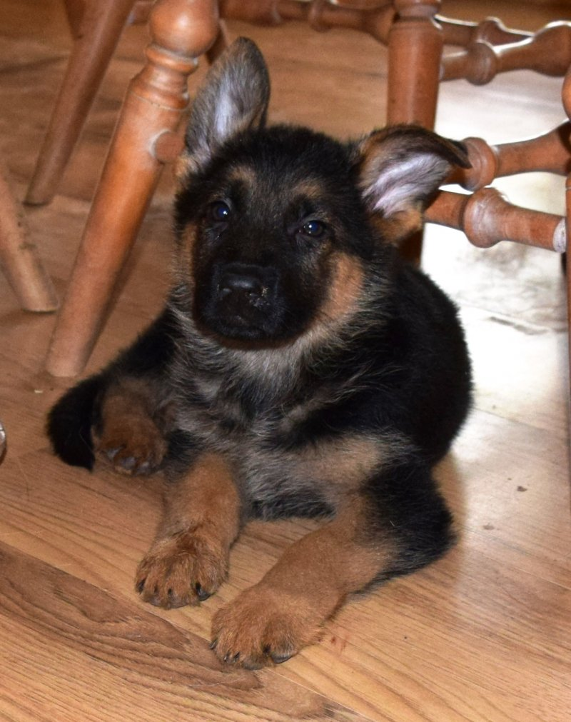 V Ramon and V Katra German Shepherd Female Puppy Available $4000
