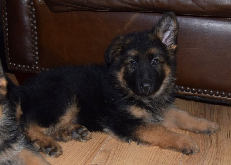 V Ramon and V Katra German Shepherd Black Collar Plush Coat Male $4500