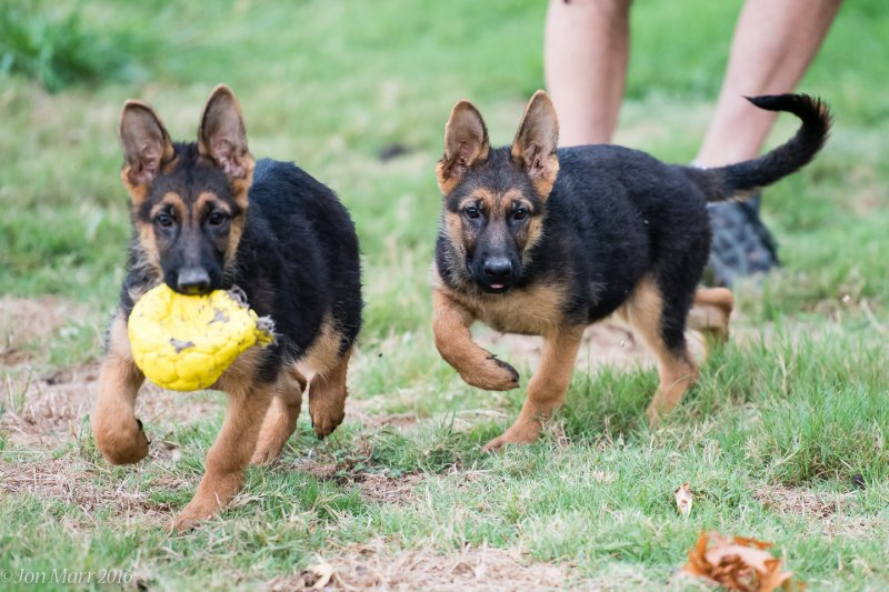 V Ramon von der Grafschaft Mark and V Katra vom Deutschen Eck Female Puppies - Pics taken by Jon Marr