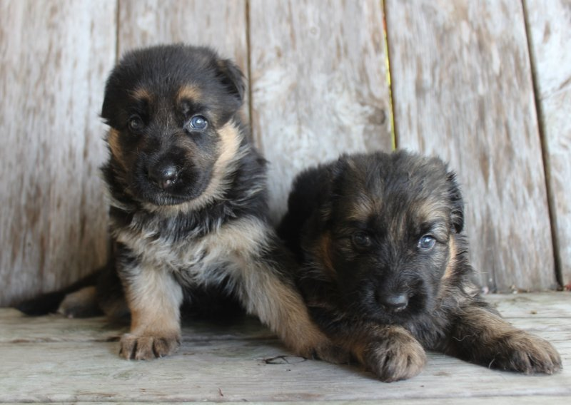 Sadie and Nix German Shepherd Female A and Female B. Taken June 25, 2017