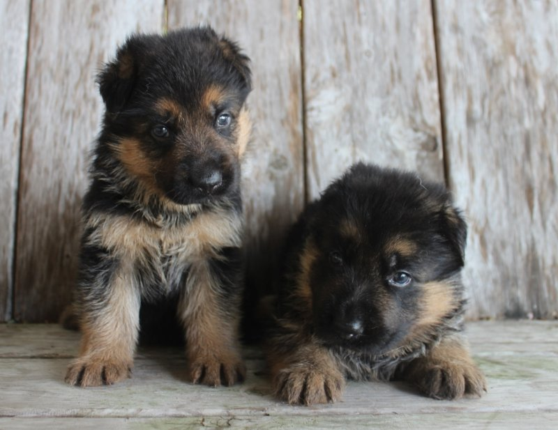 Sadie and Nix German Shepherd Male A and Male B. Taken June 25, 2017