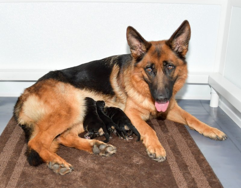 V Camelot and V Lessy German Shepherd Puppies. Picture taken 10-03-17