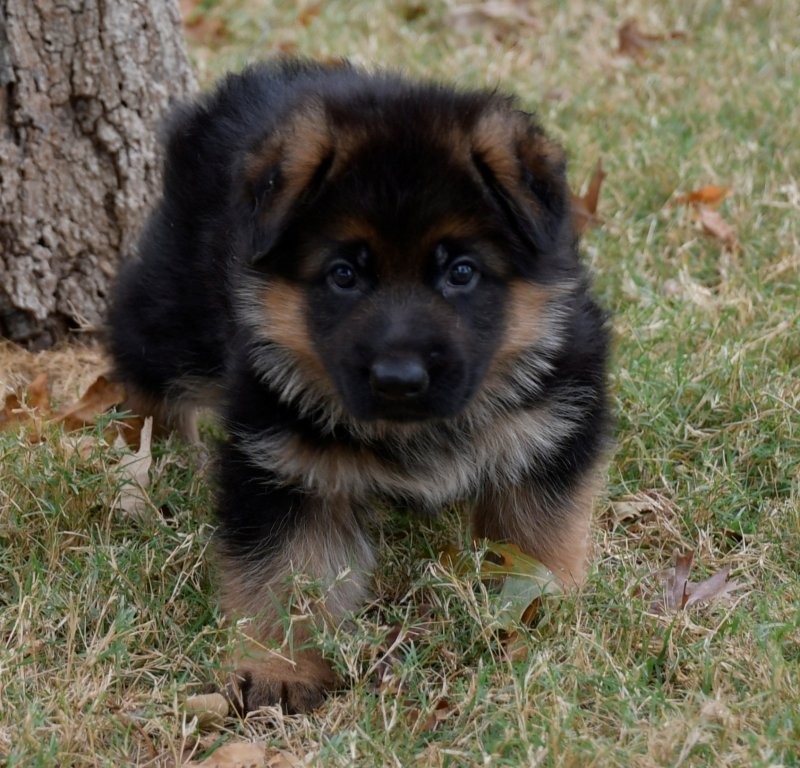 V Team Leiksaid Camelot and V Lessy von Christiansund MALE Puppy, 5 weeks old. Picture taken on November 7, 2017