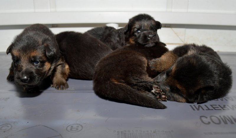 V Hagen vom Deustchen Eck and V Wynn von der Otto puppies taken on Jan 08, 2018