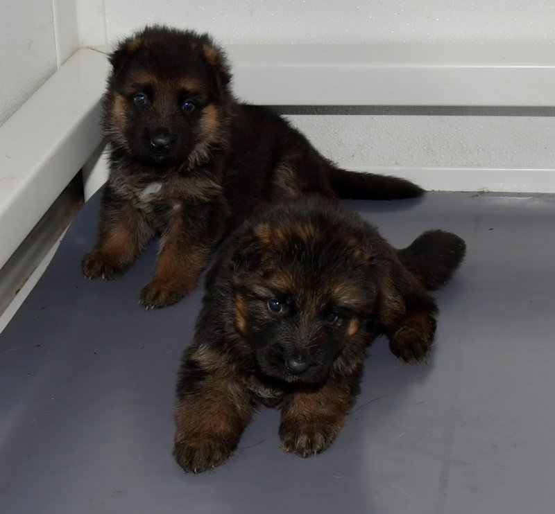 V Hagen vom Deustchen Eck and V Wynn von der Otto FEMALE and MALE pup taken on Jan 19, 2018