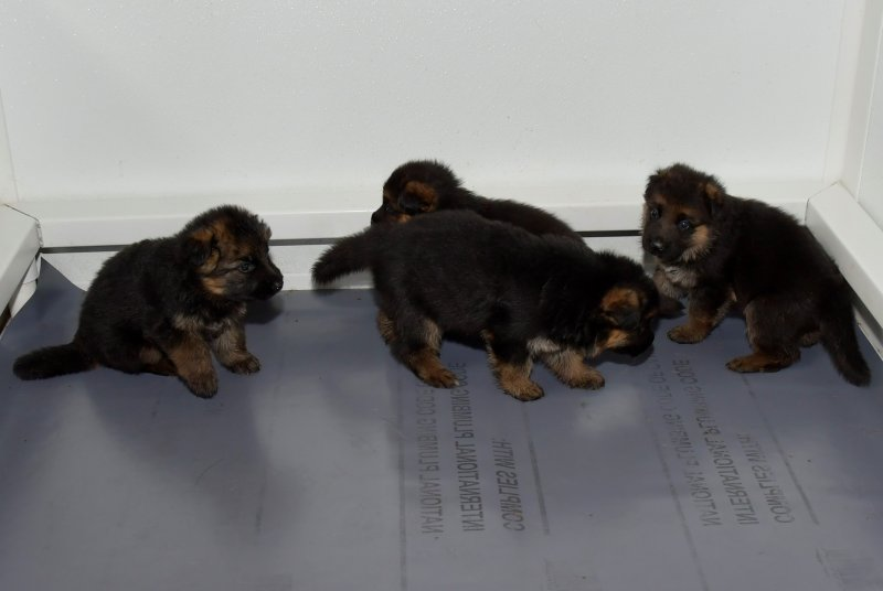 V Hagen vom Deustchen Eck and V Wynn von der Otto puppies taken on Jan 19, 2018