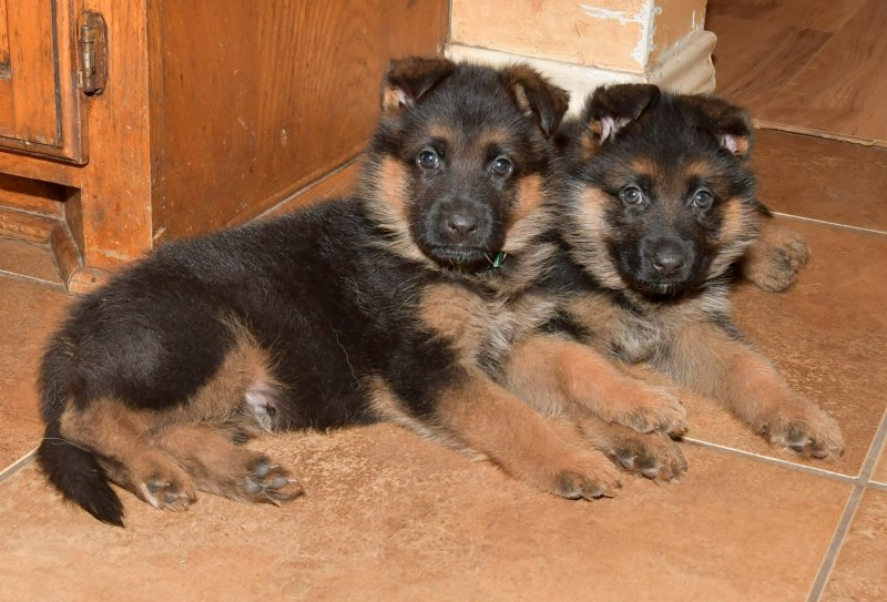 V Hagen vom Deustchen Eck and V Wynn von der Otto GREEN collar on Left and BLUE collar on Right MALES taken on Feb 03, 2018