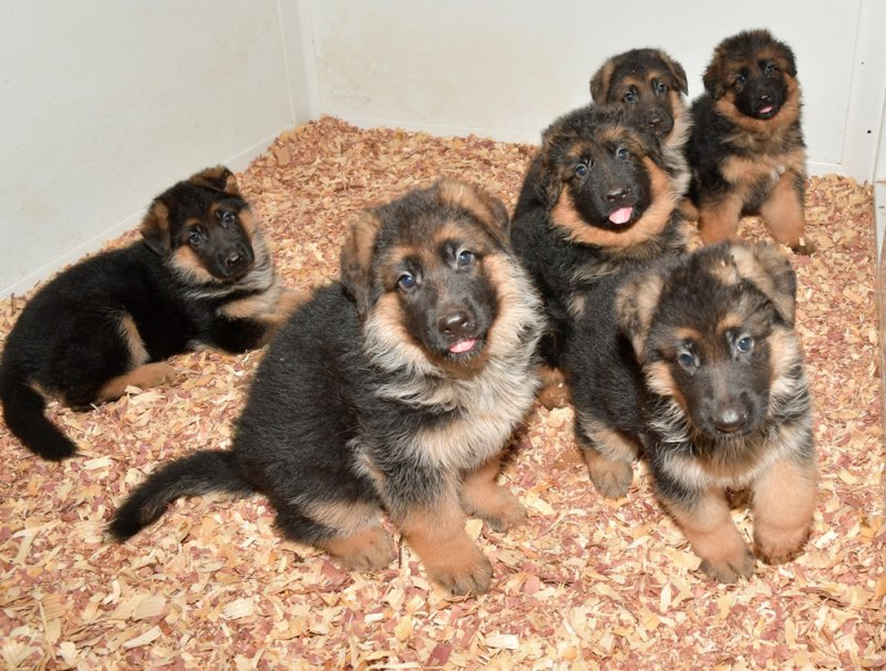 V Aaron vom Warmetal and V Lessy von Christiansund Puppies. Female A, Male A, Female B, Male Long Coat, Male B and Female Long Coat. Picture taken May 17, 2018
