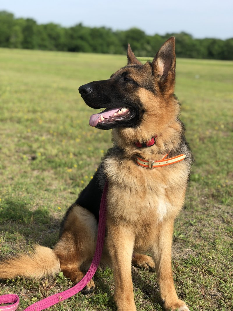 FRANCO VOM RÖMERHAIN - German shepherd imported male. Picture taken on May 06, 2019
