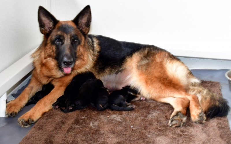 V Holly Kaizen and SG Sindband vom Lärchenhain puppies! The 4 males and 2 females are huge! Great litter. Pic taken Dec 23, 2019