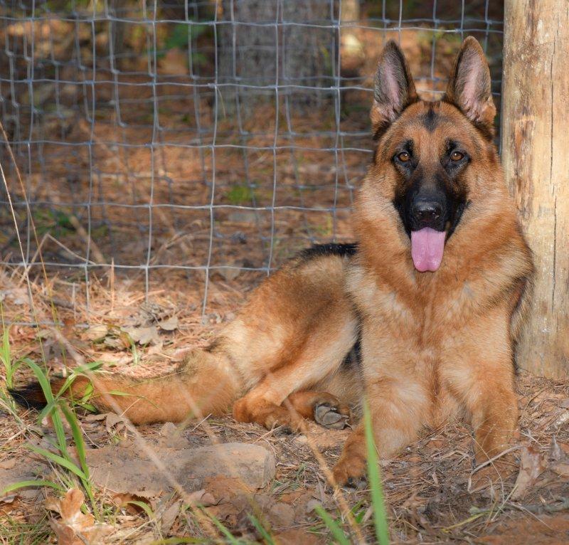 Von der Otto German Shepherds - Pure German Puppies for Sale