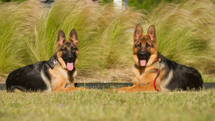 Customers met in park let siblings play a Hagen and Arabella male and female 2012 litter