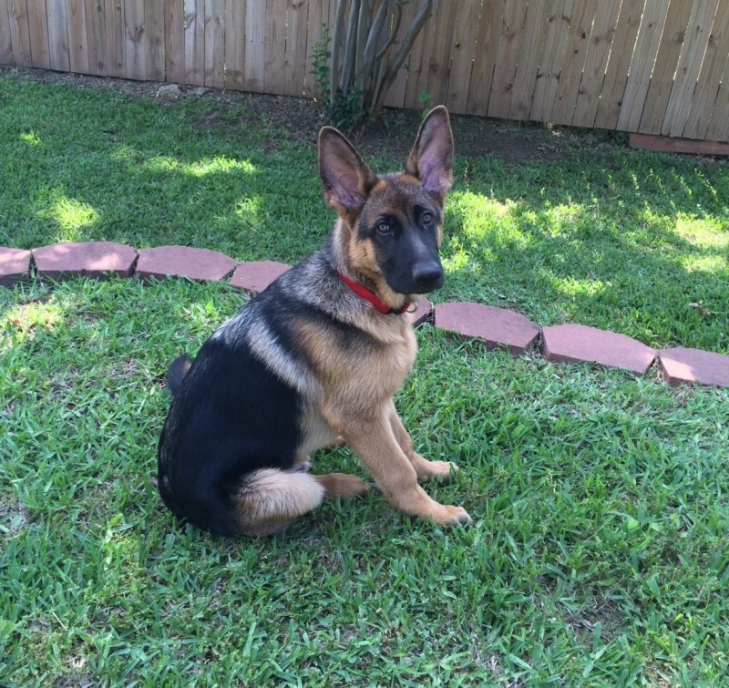 Remi a Xena and Karson male in the 2015 litter. Owners the Sheena Winters picture caption...look how handsome I am! 4 1/2 month old