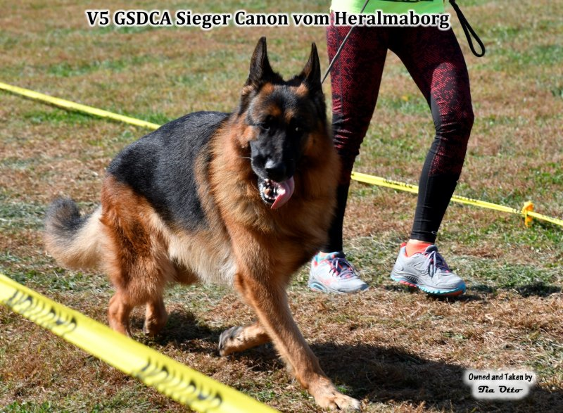 Our stud, V5 (GSDCA) Sieger Canon vom Heralmaborg gaiting around the ring off lead.