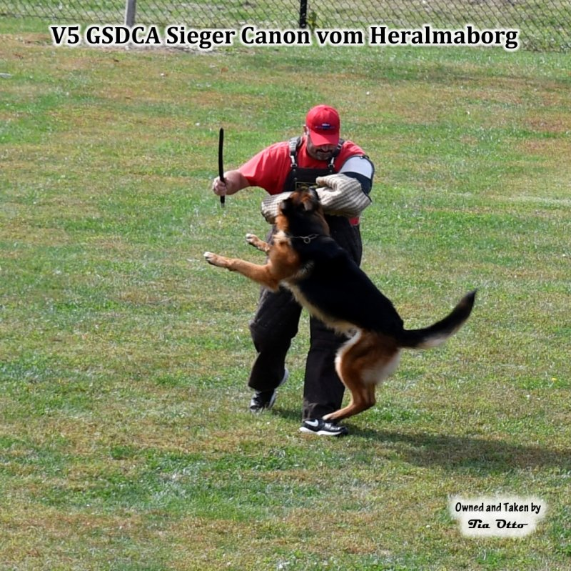Our stud, V5 (GSDCA) Sieger Canon vom Heralmaborg on the sleeve taking stick hits