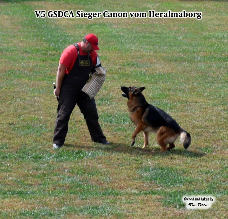 Our stud, V5 (GSDCA) Sieger Canon vom Heralmaborg hold and bark when helper stopped moving.