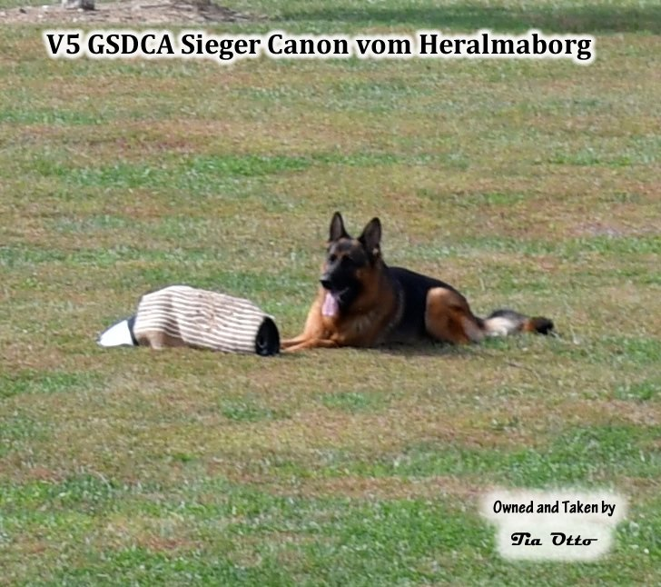 Our stud, V5 (GSDCA) Sieger Canon vom Heralmaborg helper stipped the sleeve and Canon took it with him.
