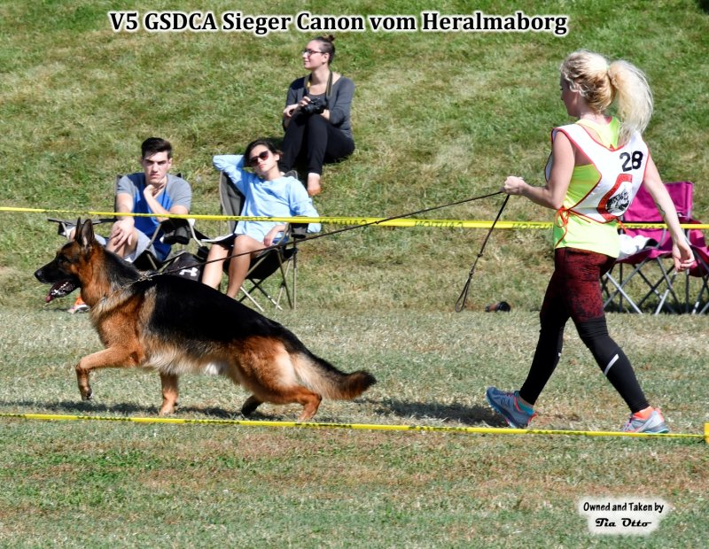 Our stud, V5 (GSDCA) Sieger Canon vom Heralmaborg beautiful gait around the ring.