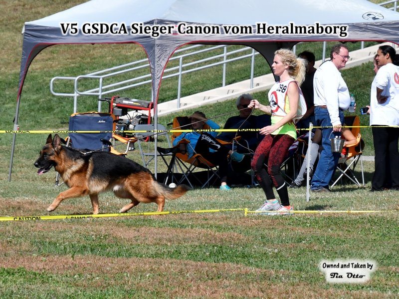 Our stud, V5 (GSDCA) Sieger Canon vom Heralmaborg gaiting around the ring.