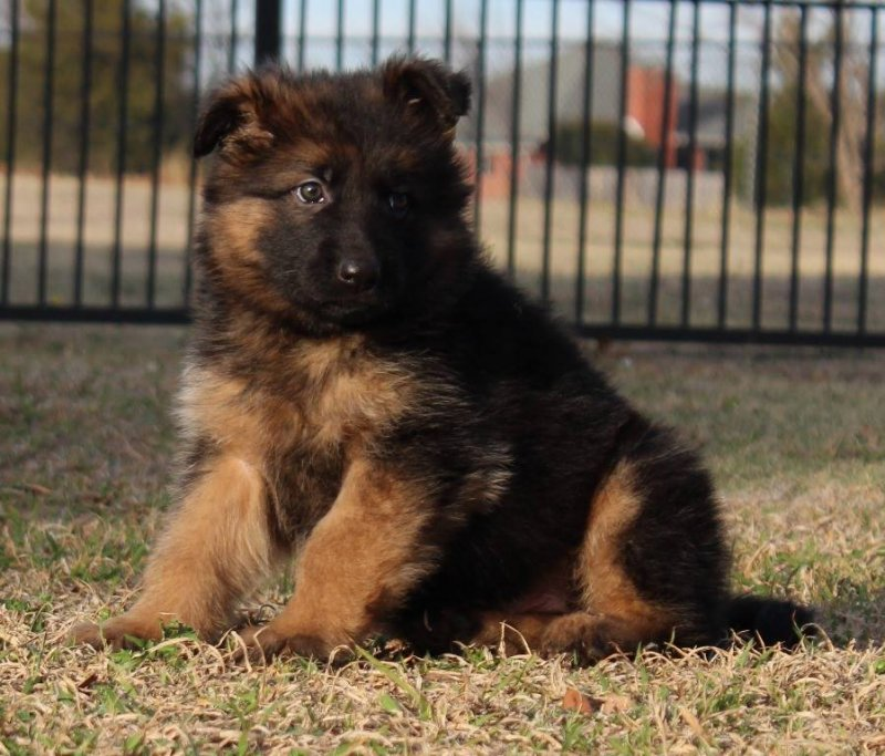 Kars von der Otto, Parents are Karson von der Otto and Xena von der Otto 2014 litter owned by the Merchant Family