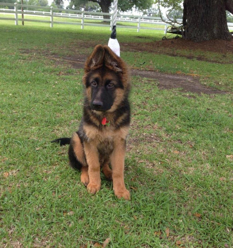 Kaiser von der Otto, Parents are Karson von der Otto and Xena von der Otto 2014 litter owned by Hebert Family