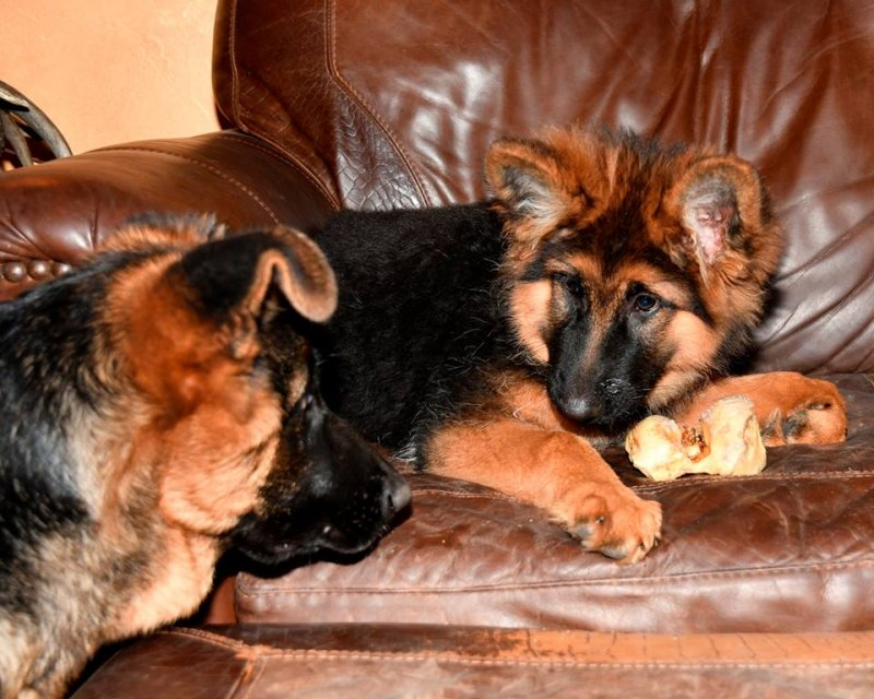 Emma von der Otto, V Canon vom Heralmaborg and V Katra vom Deutschen Eck Female 2016 Litter owned by our kennel
