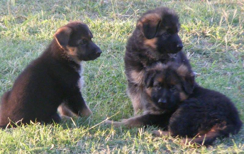 E Judge von der Otto and E Patriot von der Otto both males with sister Eisha von der Otto, Parents Mason and Tara born in 2008 owned by Fisher and Denzinger Family