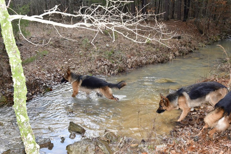 Dogs having fun in the creek by our cabin on Feb 01, 2020