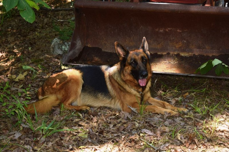 Rylie pregnant with Ramon's german shepherd puppies June 2015
