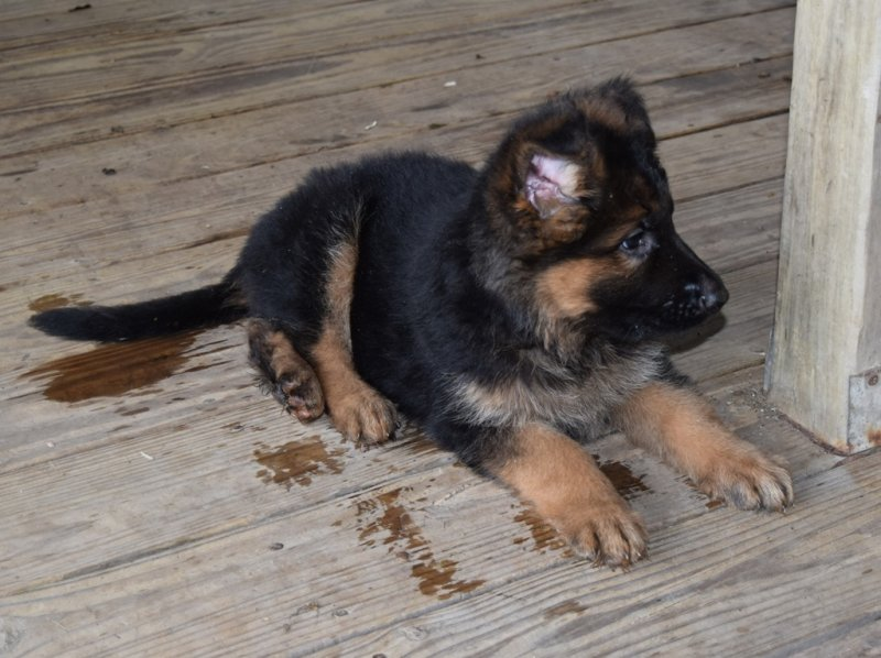 Hagen and Leska Blue Collar Plush Coat Male SOLD to Northland taken on November 01, 2015 - $4500.00