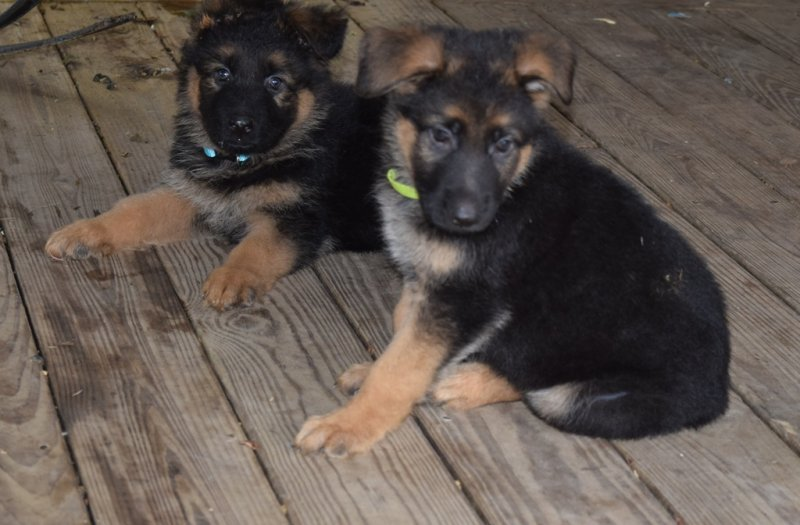 Hagen and Leska Green Plush Coat Male $4000 SOLD to Hunner and Lime Green Collar Male $4500 SOLD to Shockey taken on November 01, 2015