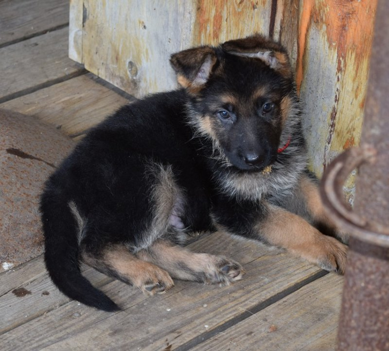 Hagen and Leska Red Collar Male $3000