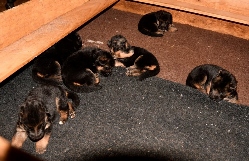 V Canon vom Heralmaborg and V Fibi von Arlett - World Sieger Remo Puppies. Taken on 12-13-16