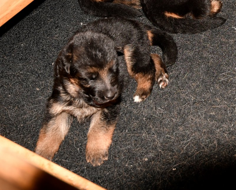 V Canon vom Heralmaborg and V Fibi von Arlett - World Sieger Remo Puppy. Taken on 12-13-16