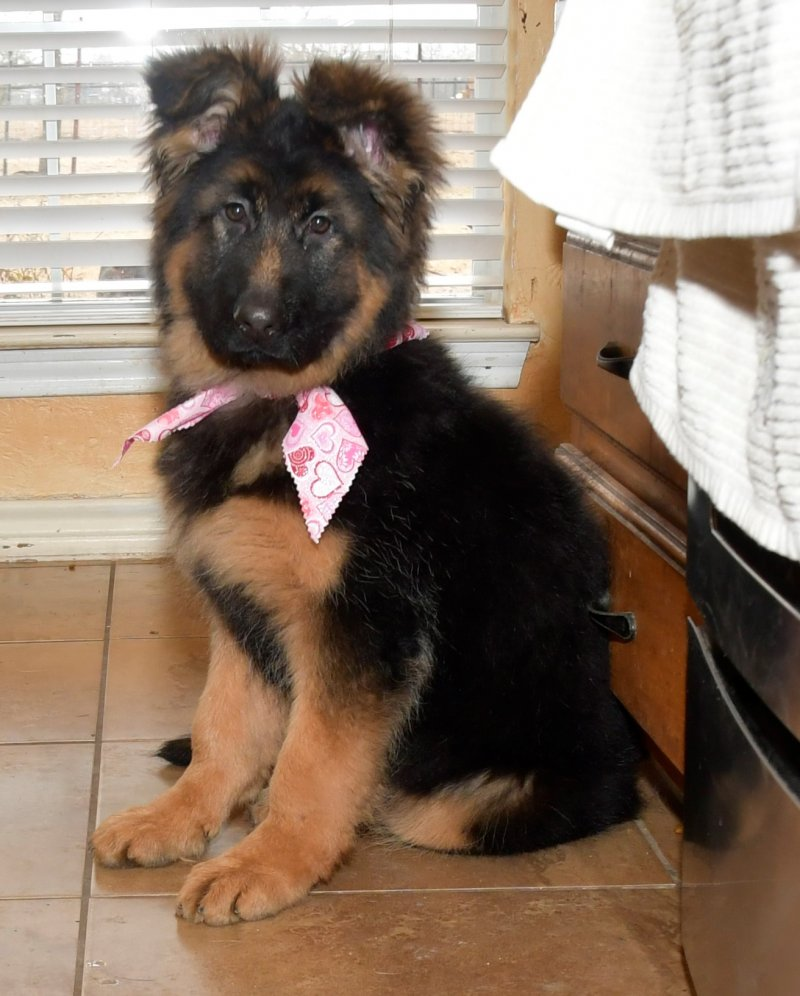 VA Cronos del Seprio and V Jesira vom Lärchenhain German shepherd Long Coat Female - Sally vom Lärchenhain taken on Feb 08, 2018