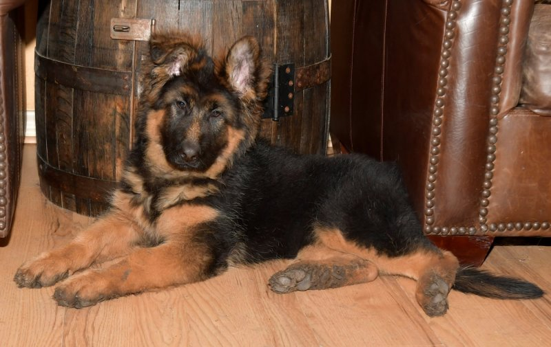 VA Cronos del Seprio and V Jesira vom Lärchenhain German shepherd Long Coat Female - Sally vom Lärchenhain taken on Feb 13, 2018